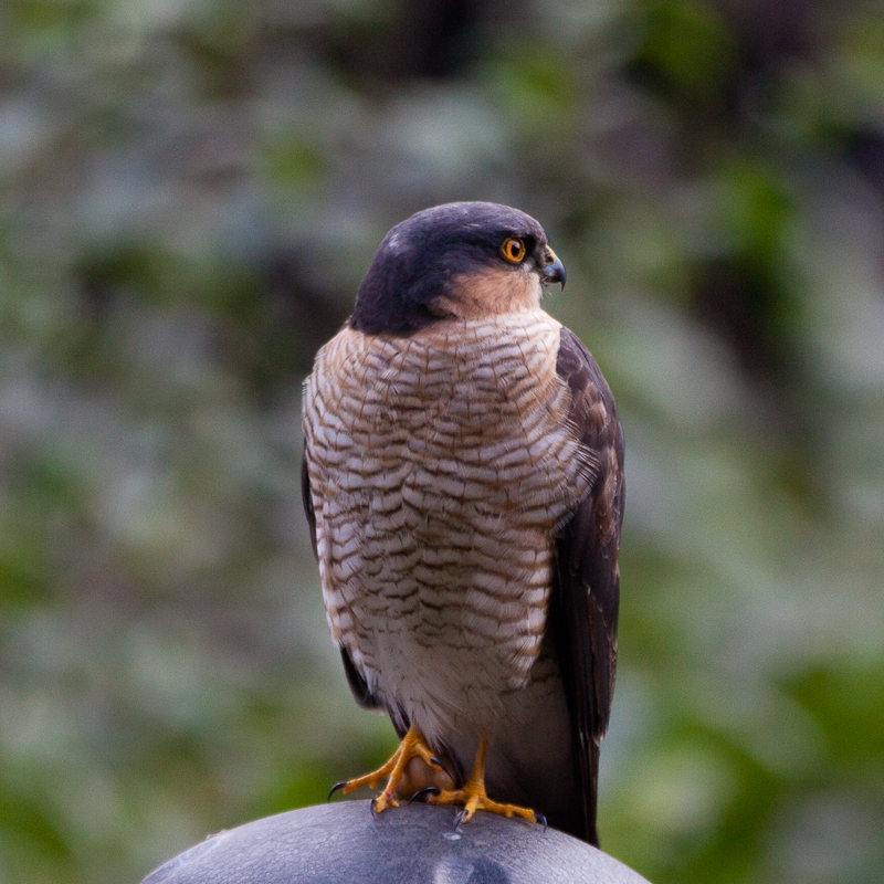 Our Local Sparrowhawk, Dowanhill Bob