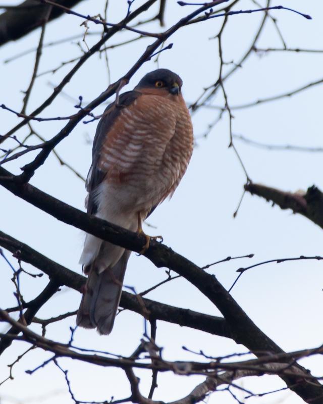 New kid on the Block (Perigrine Falcon)
