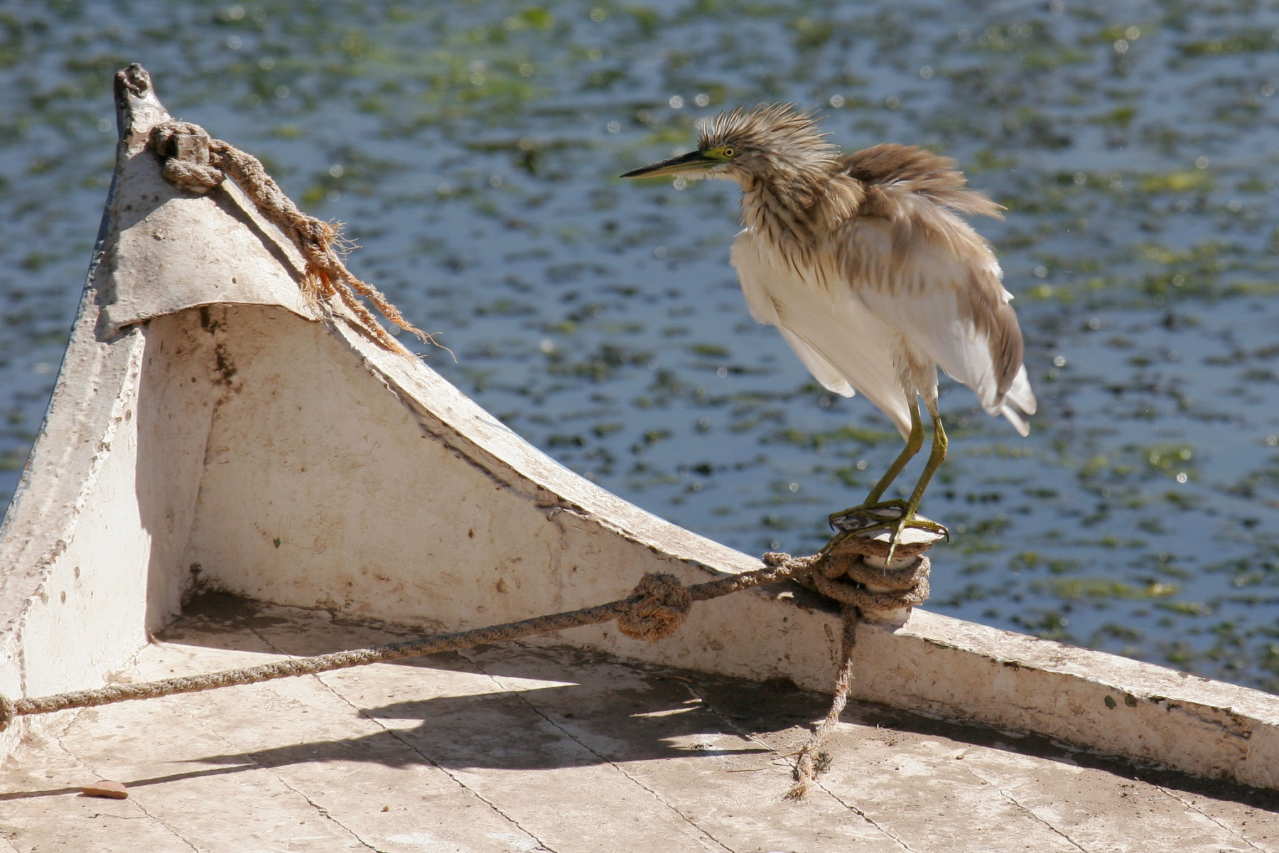 squacko-heron-shaking-dry-1